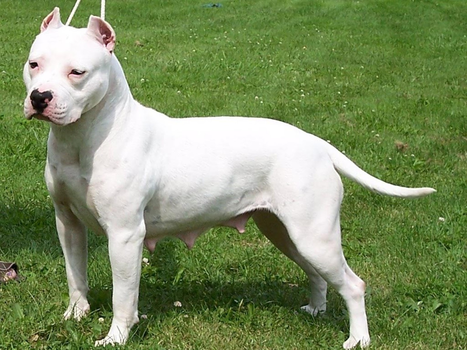 American Pit Bull Terrier  Puppies, Rescue, Pictures, Information, Temperament, Characteristics