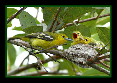 Common Iora - Nestling