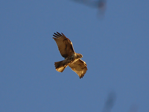 Juvie Red-Tail over Riverside Drive