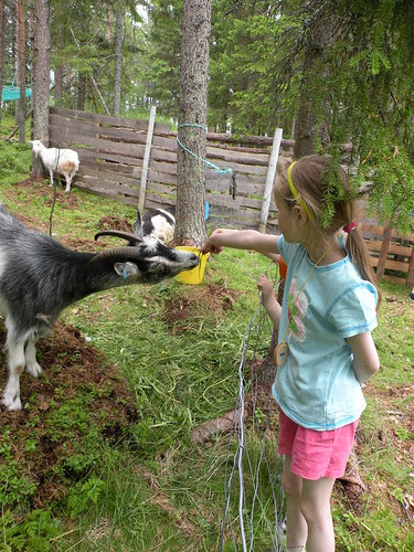 feeding gras to the goats :)