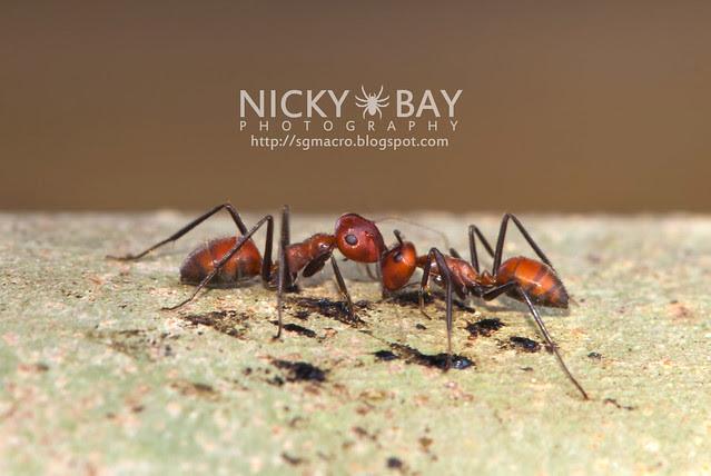 Ants (Formicidae) - DSC_6248