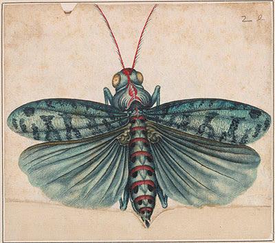 Blue locust