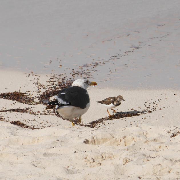 Ed Gaillard: birds &emdash; Lesser Black-Backed Gull and Ruddy Turnstone, New Providence, Bahamas