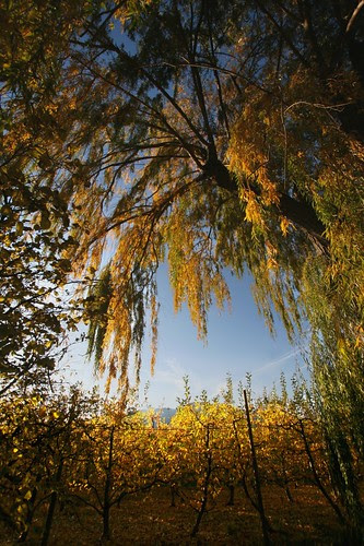 orchard-willow-yellows