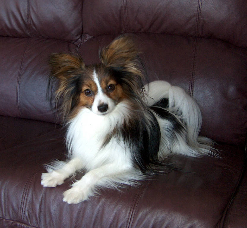 The Papillon Dog Breeds ~ Dog Galleries