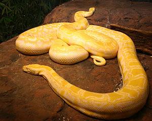 Albino Burmese Pythons.