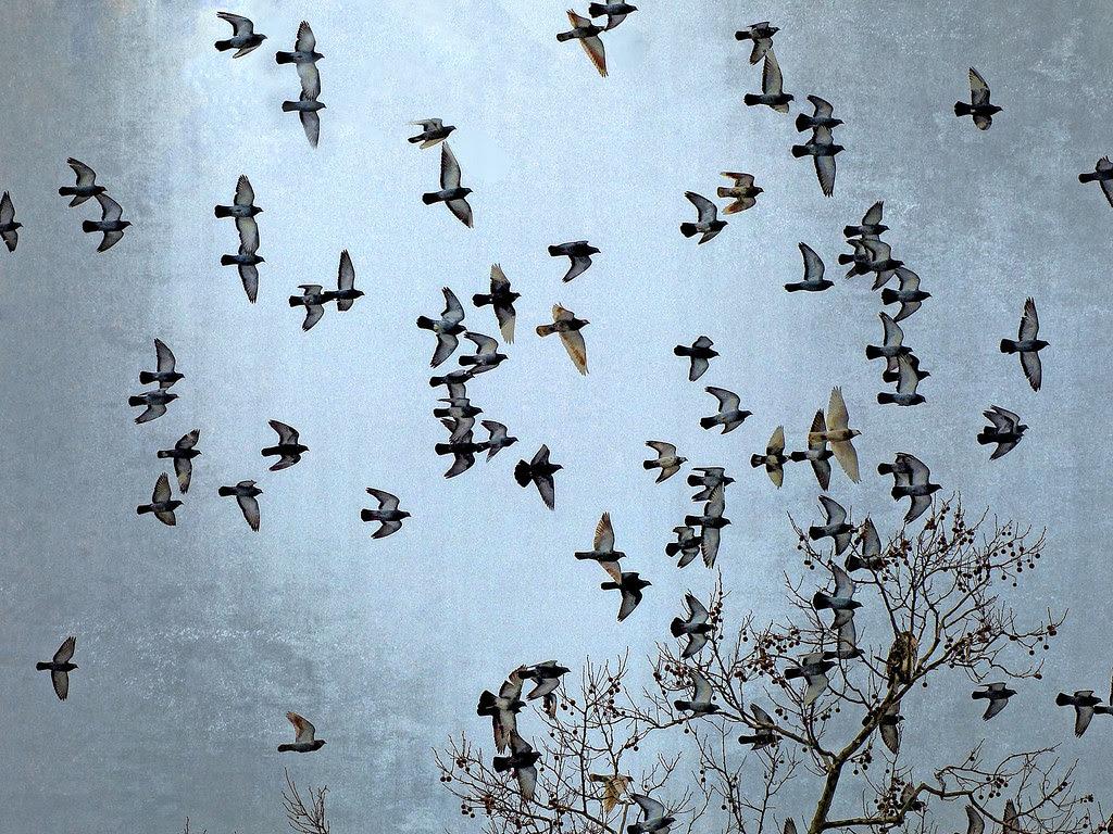One hawk, 100 pigeons