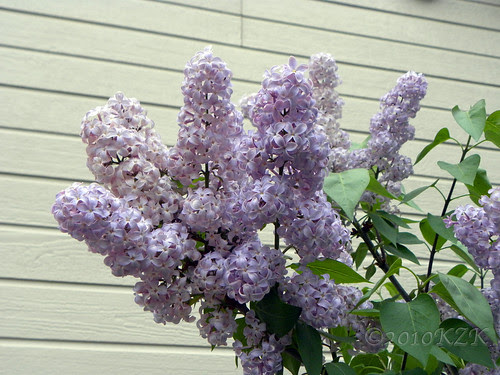 DSCN4825 Lilacs