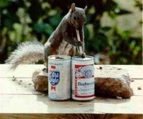 squirrel drinking beer budweiser through a straw1 drunk animals drinking beer dogs cats ? BANNED
