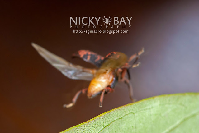 Weevil (Curculionidae) - DSC_2870
