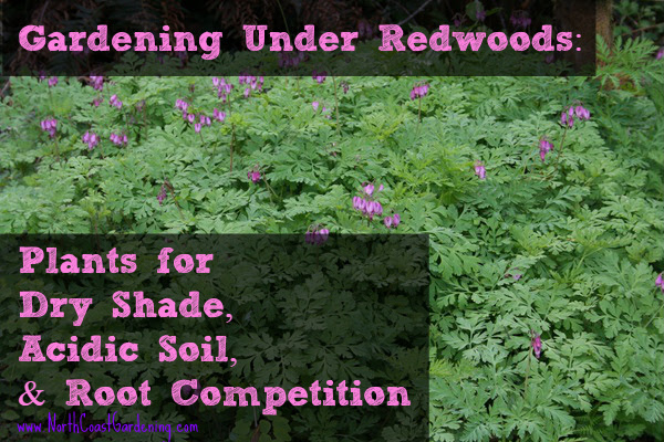 Gardening Under Redwoods Dealing With Dry Shade Acidic Soil And