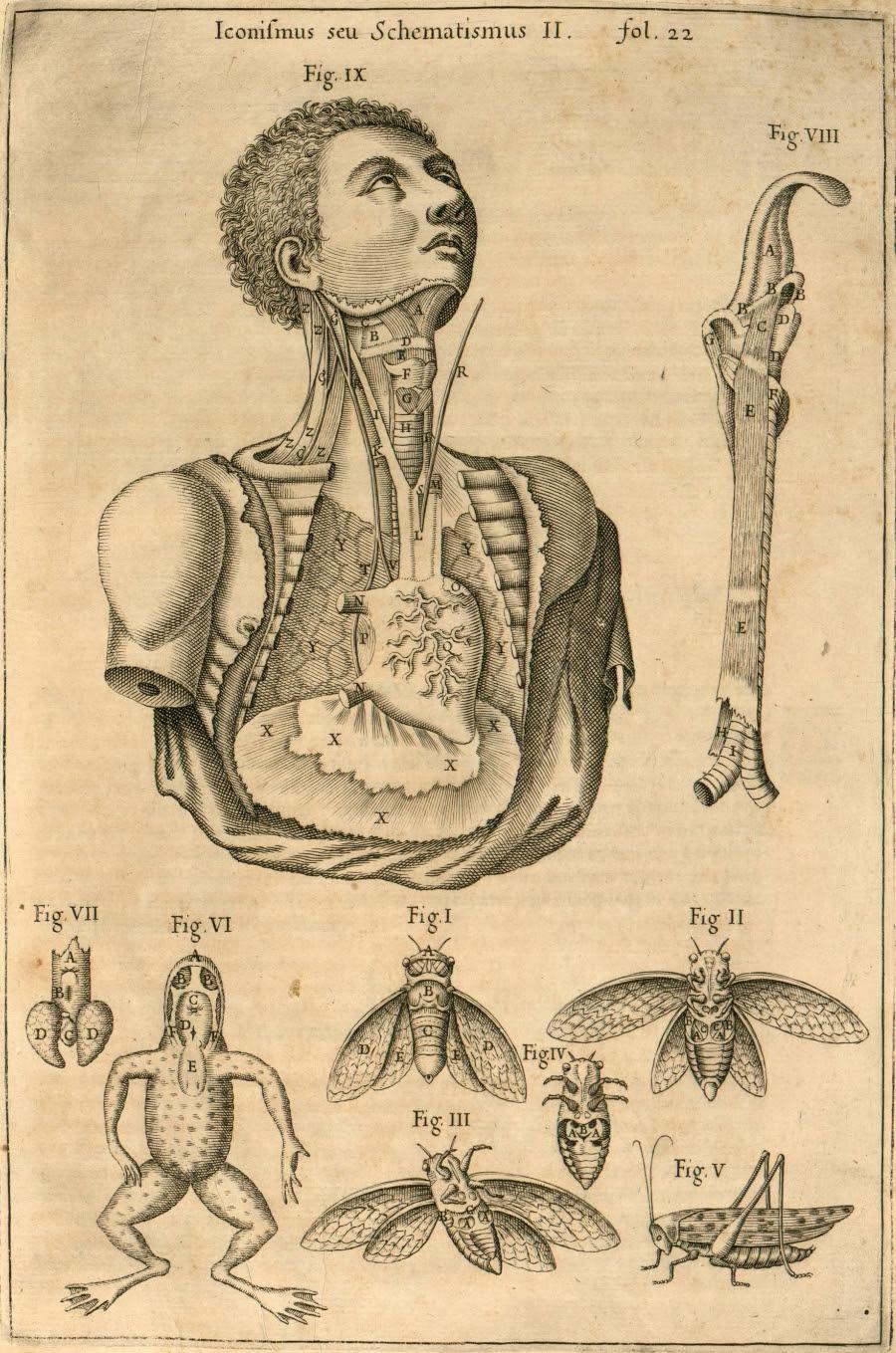 larynx/thorax - comparative anatomy