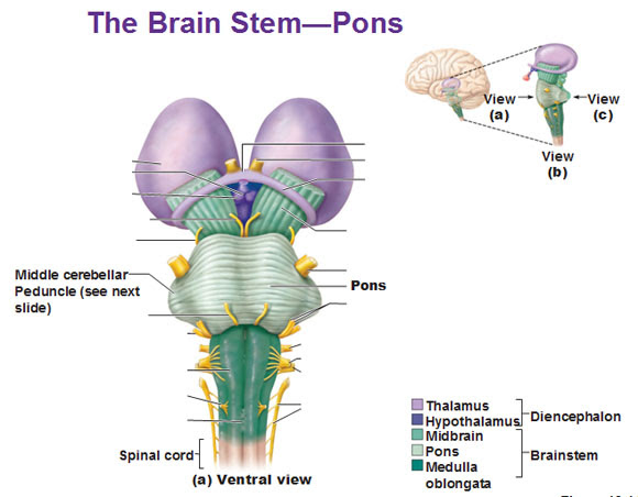 the brain stem pons ventral view middle cerebellar peduncle