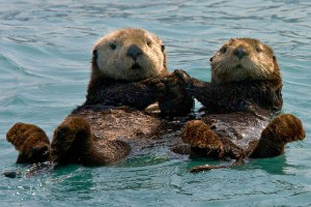photo sea-otters-300x200_zps543b025f.jpg