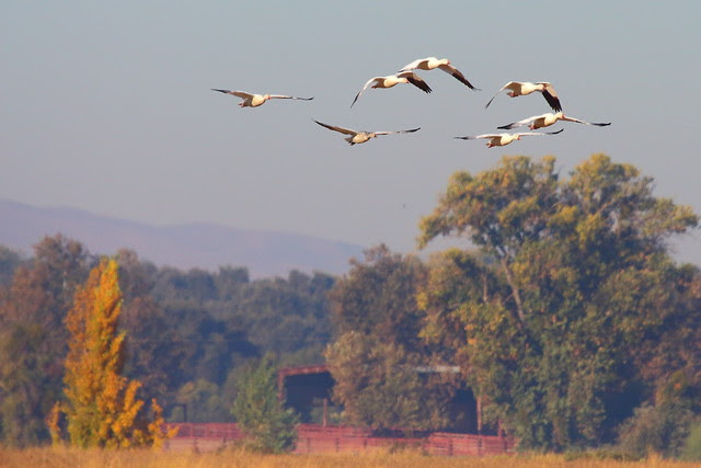 IMG_1860 Snow Geese