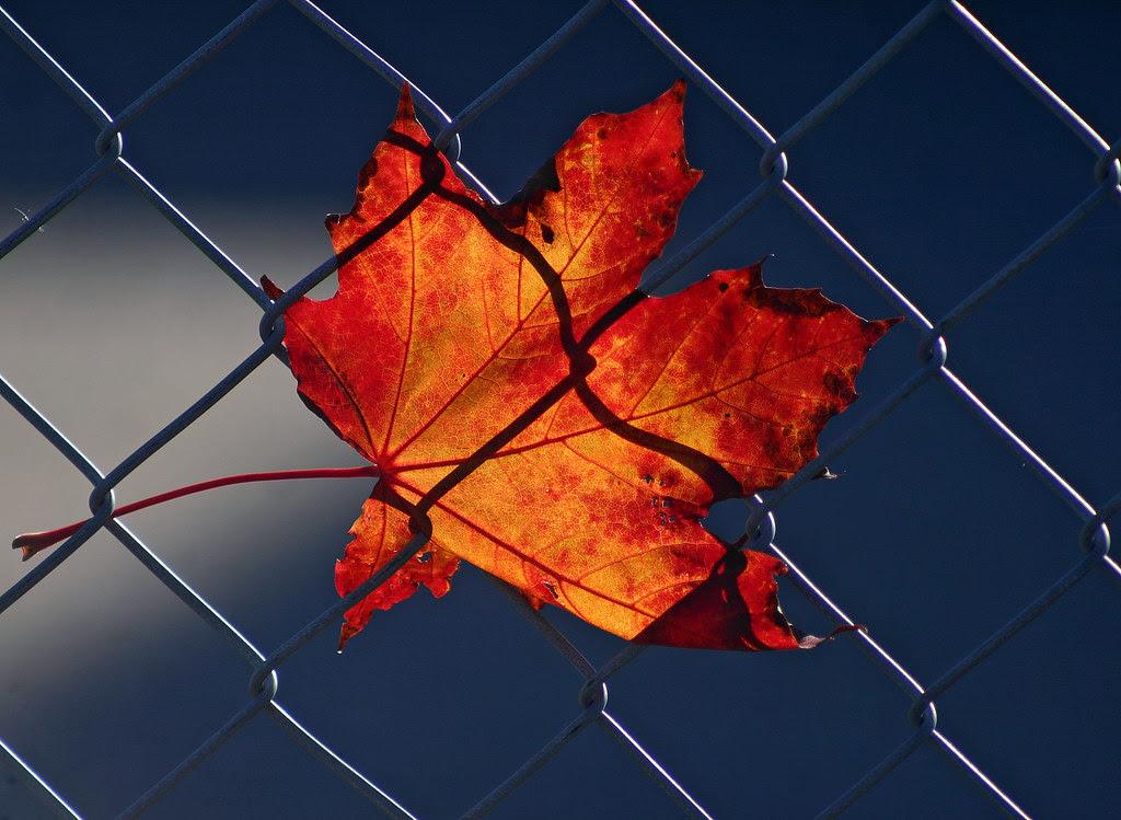 Trapped Leaf