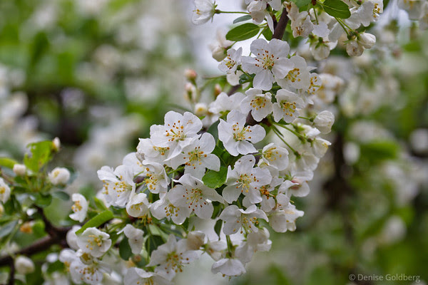 flowering tree, white blossoms