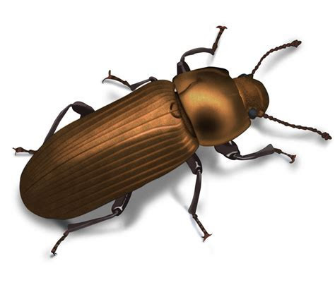 Pictures of Beetles: Beetle Images and Photo Gallery