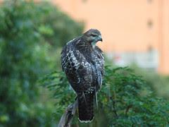 Divine Red-Tailed Hawks in Morningside Park