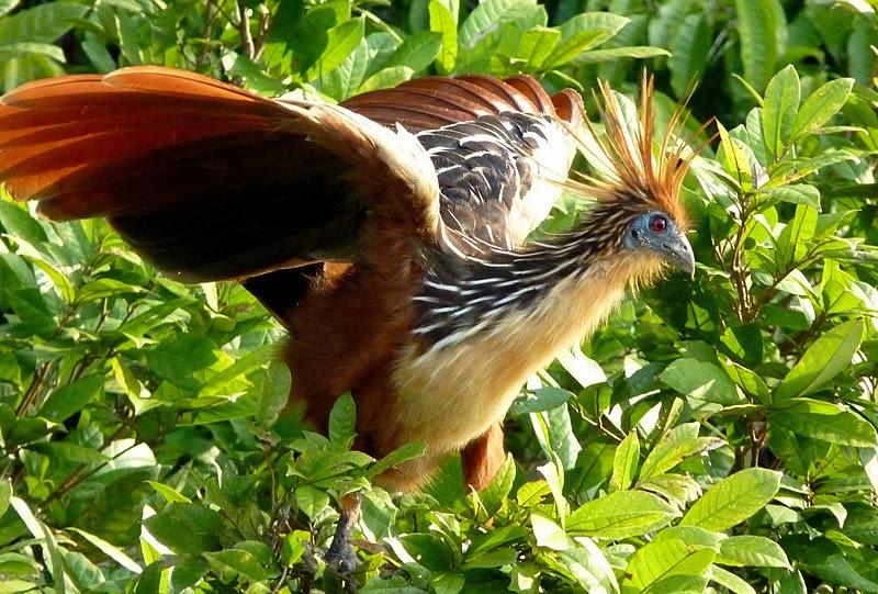 File:Hoatzin in Peru.jpg