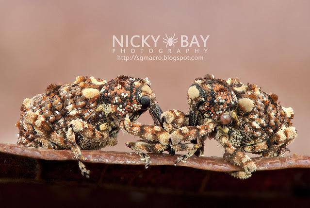 Weevils (Curculionidae) - DSC_1476