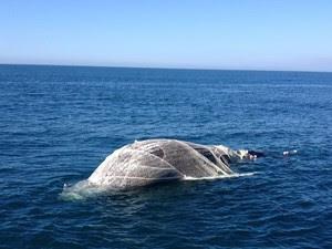 Baleia enrolada em rede de pesca foi avistada por pescador em Arraial (Foto: Jares Luiz/Arquivo Pessoal)