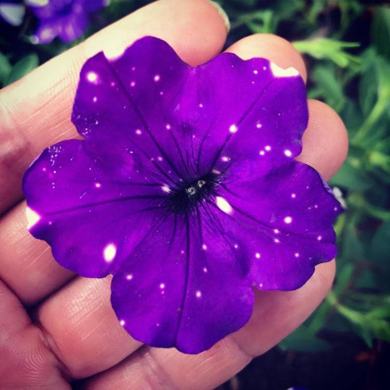 Flores espetaculares parecem ter o universo estampado em suas pétalas 04