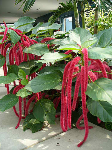 Featured Plant Chenille Plant Red Hot Cat Tail Exotica