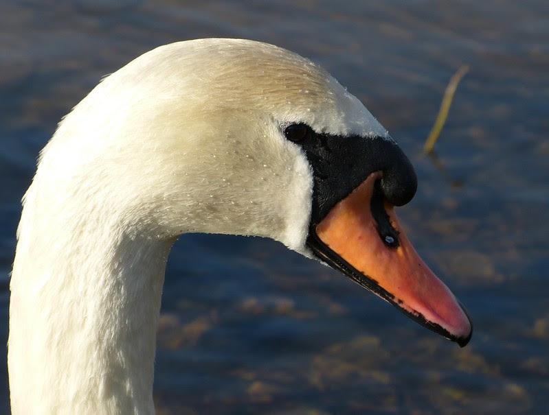 P1040125 - Mute Swan, Kenfig NNR