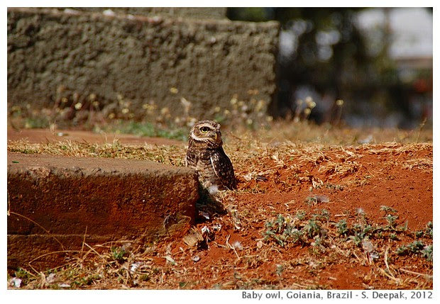 Baby owl, Goiania, Brazil
