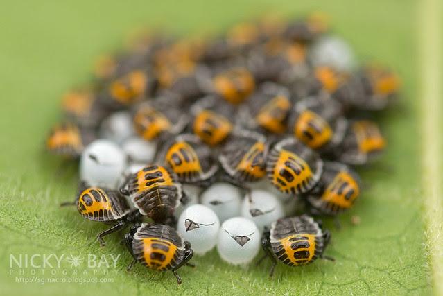 Brown Marmorated Stink Bugs? (Halyomorpha halys?) - DSC_2972