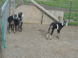 Our Nanny Goat Betsy and Her Kids from 2013