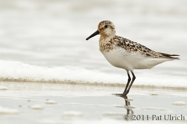 Late summer sanderling - Pat Ulrich Wildlife Photography