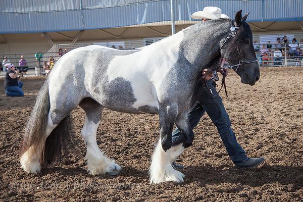 Gypsy Horse (Gypsy Vanner)