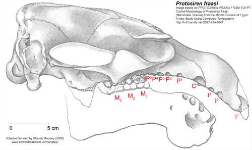 Protosiren