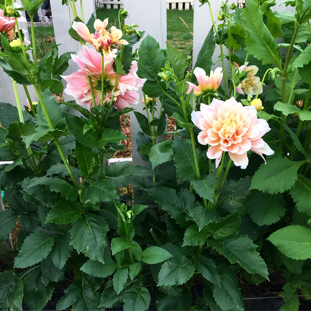 Dahlia Garden Tips | Garden Spells