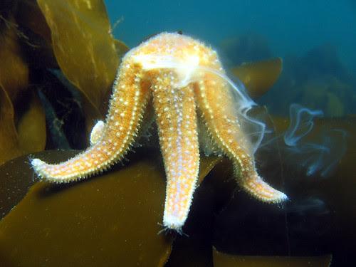 spawning starfish