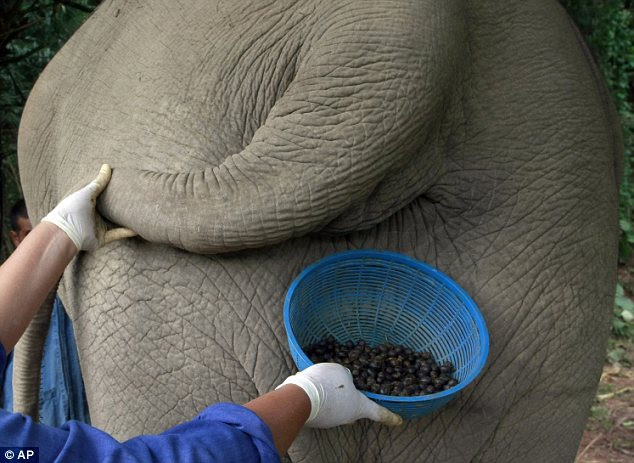 Black Ivory coffee is now one of the world's most expensive varieties costing $1,100 (£685) per kilogram. Thai women collect the dung in Chiang Rai province, northern Thailand. before sifting through for beans