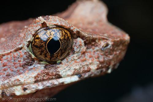 IMG_8958 copy Xenophrys longipes, Long legged horned frog