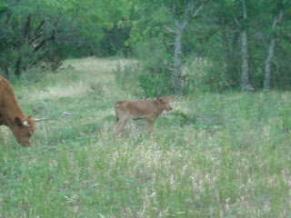 New Heifer Longhorn Calf Celestina