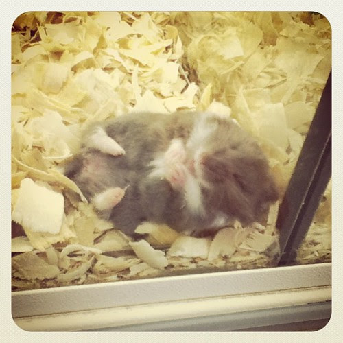 This hamster at the pet store stole my heart this afternoon <3 #animallover