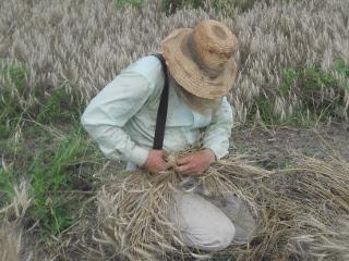 More Harvesting Wheat