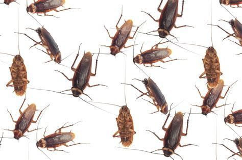 Three Step Roach Elimination Tips   Pest Control San Antonio