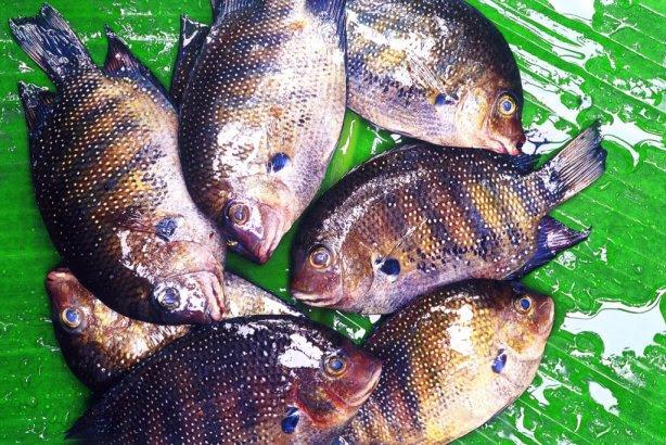 Karimeen or Pearl Spot Fish