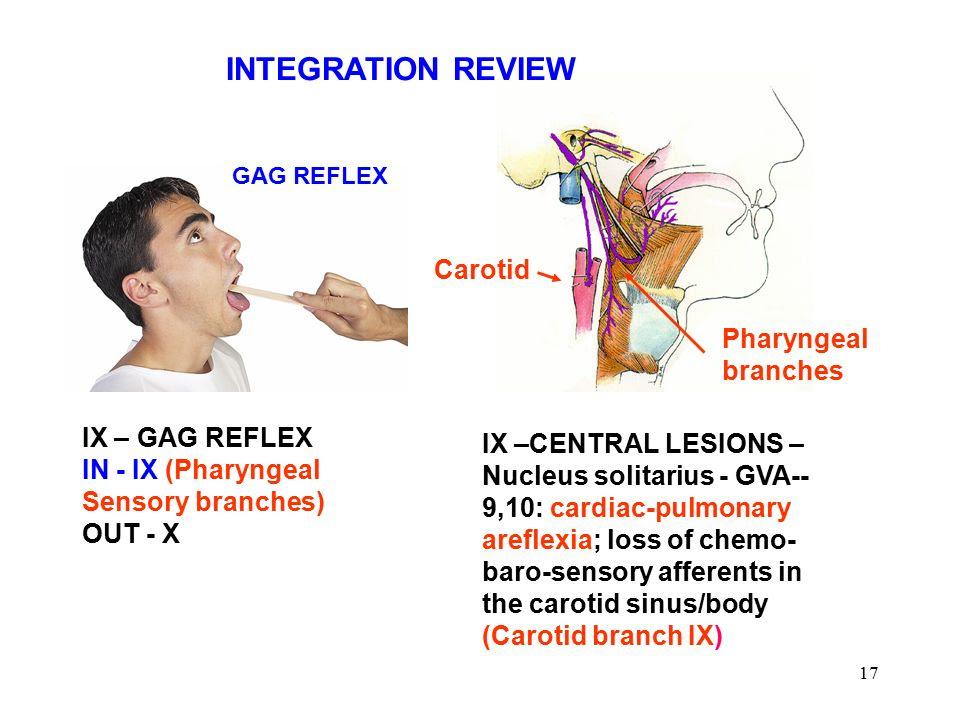 INTEGRATION+REVIEW+Carotid+Pharyngeal+branches+IX+%E2%80%93+GAG+REFLEX