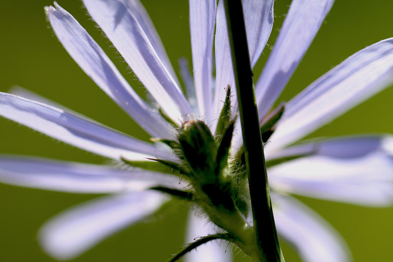 inside chicory