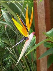 ch - cv bird of paradise 01