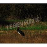 Côte-d'Or - Insolite. Phénomène rare : une cigogne noire aperçue dans le département