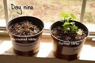 Planta regada com água do microondas