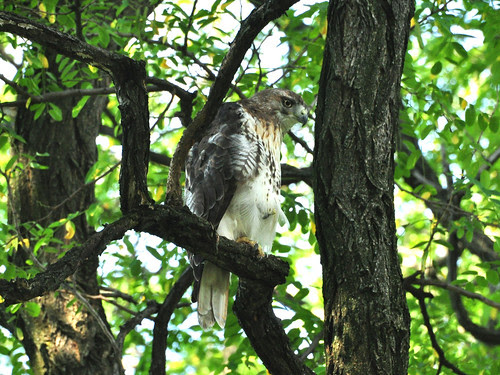 Bandshell Hawk